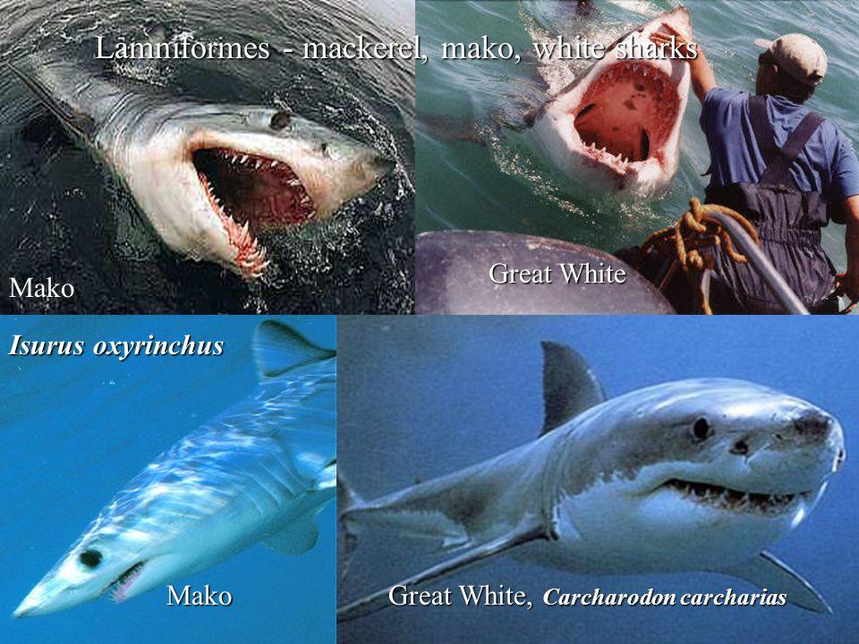 Lamniformes - mackerel, mako, white sharks Mako Great White, Carcharodon carcharias Mako Great White Isurus oxyrinchus
