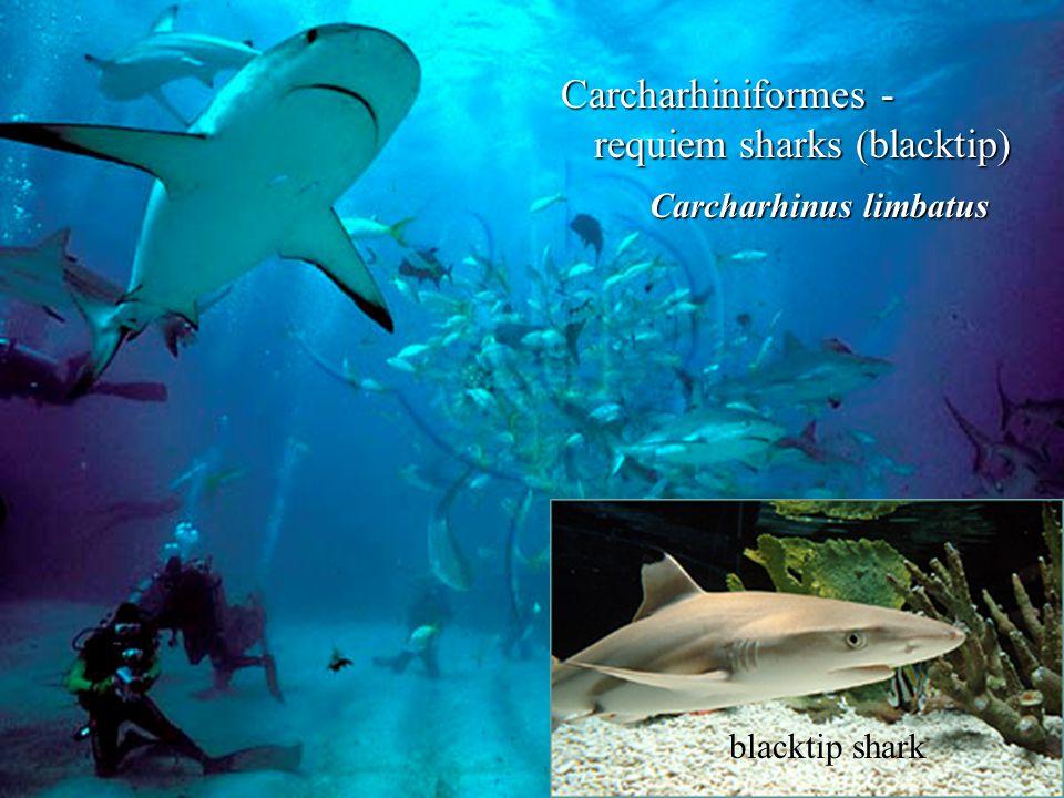 Carcharhiniformes - requiem sharks (blacktip) blacktip shark Carcharhinus limbatus Carcharhinus limbatus