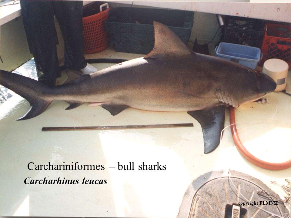 Carchariniformes – bull sharks Carcharhinus leucas copyright FLMNH