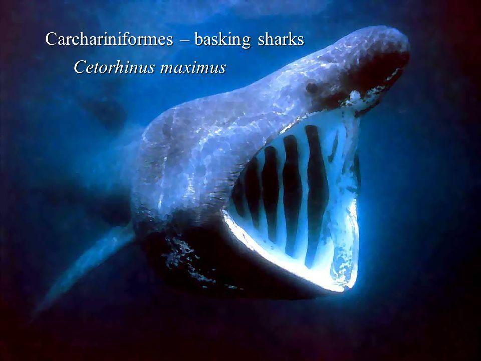 Carchariniformes – basking sharks Cetorhinus maximus