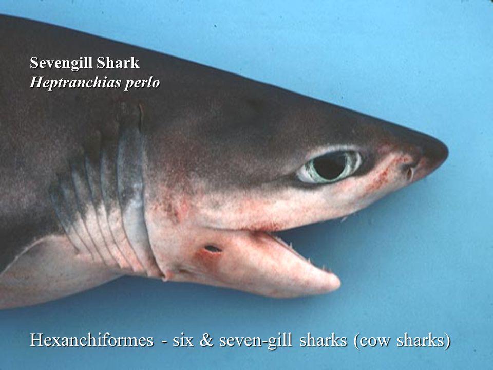 Hexanchiformes - six & seven-gill sharks (cow sharks) Sevengill Shark Heptranchias perlo