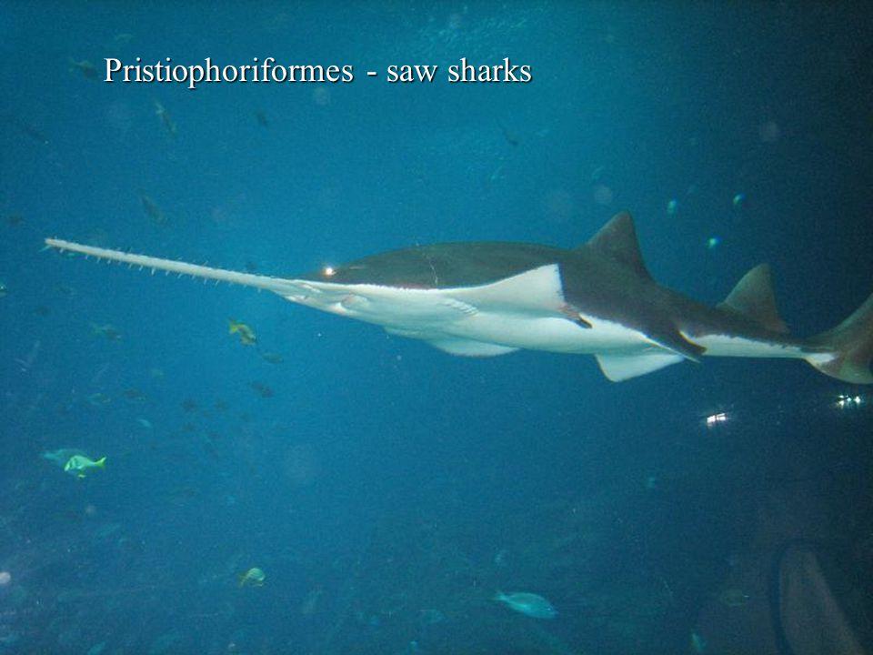 Pristiophoriformes - saw sharks