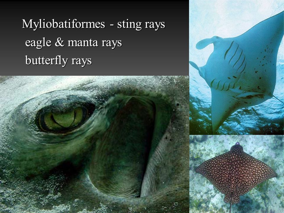 Myliobatiformes - sting rays eagle & manta rays eagle & manta rays butterfly rays butterfly rays