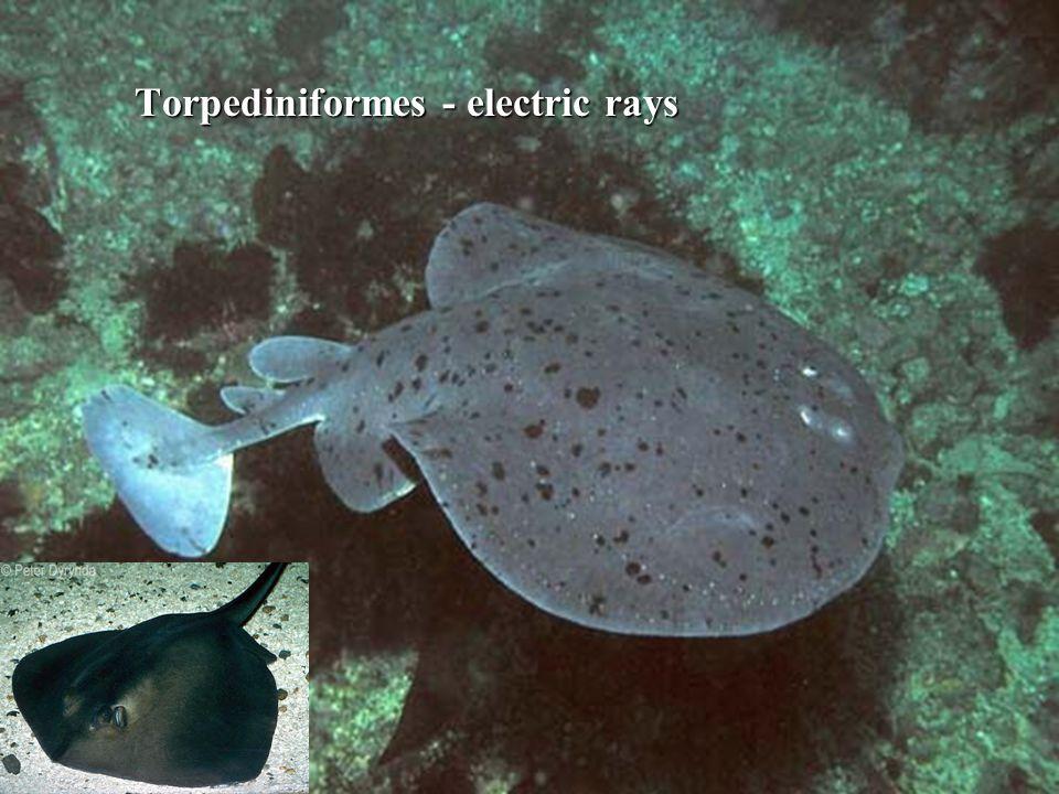 Torpediniformes - electric rays