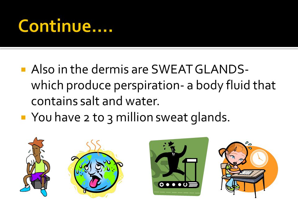 Also in the dermis are SWEAT GLANDS- which produce perspiration- a body fluid that contains salt and water.