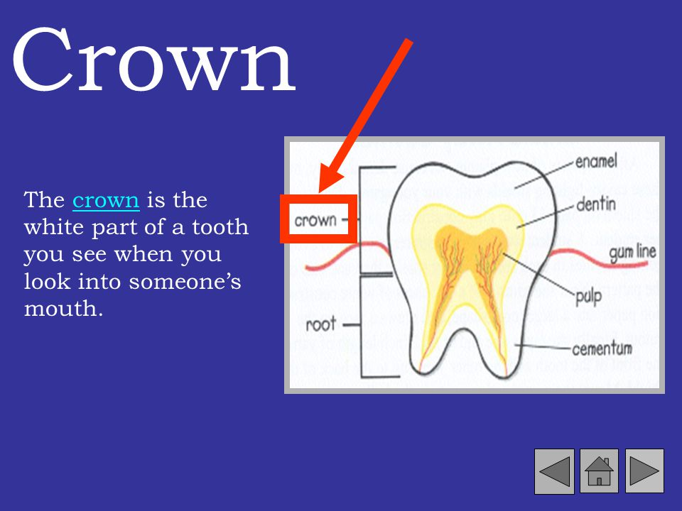 The Tooth Truth Did you know each tooth actually has different parts? Lets take a closer look at a tooth and the surrounding area.