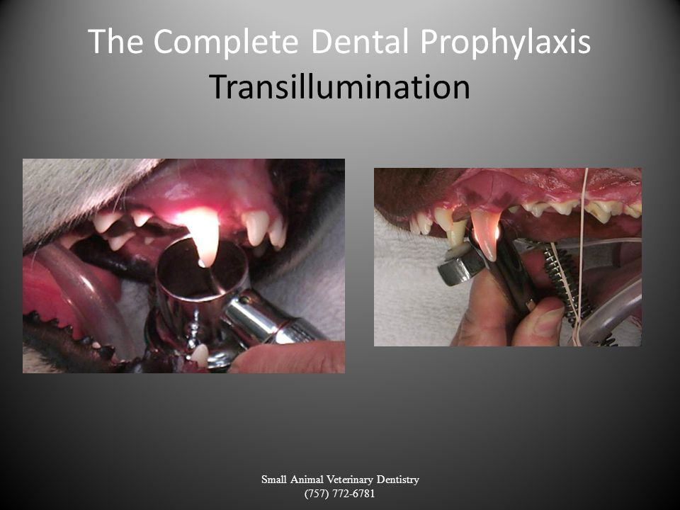 The Complete Dental Prophylaxis Transillumination Small Animal Veterinary Dentistry (757) 772-6781