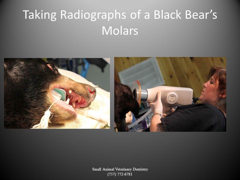 Taking Radiographs of a Black Bears Molars Small Animal Veterinary Dentistry (757) 772-6781