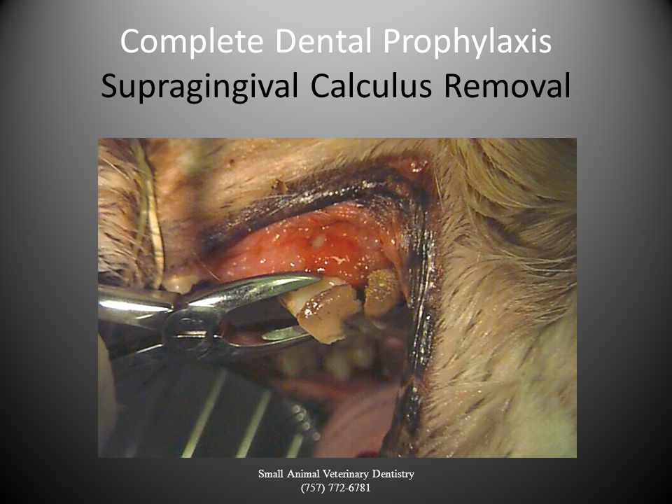 Complete Dental Prophylaxis Supragingival Calculus Removal Small Animal Veterinary Dentistry (757) 772-6781