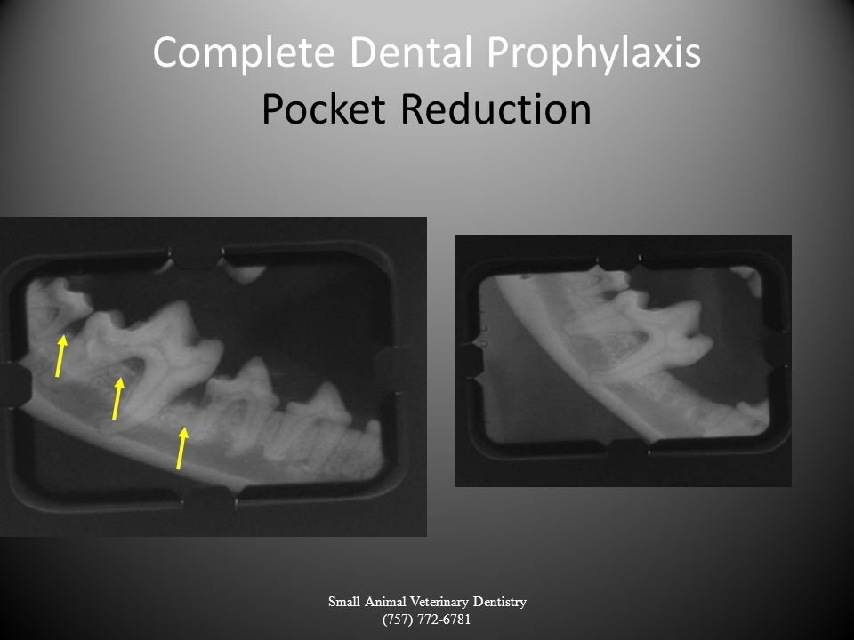 Complete Dental Prophylaxis Pocket Reduction Small Animal Veterinary Dentistry (757) 772-6781