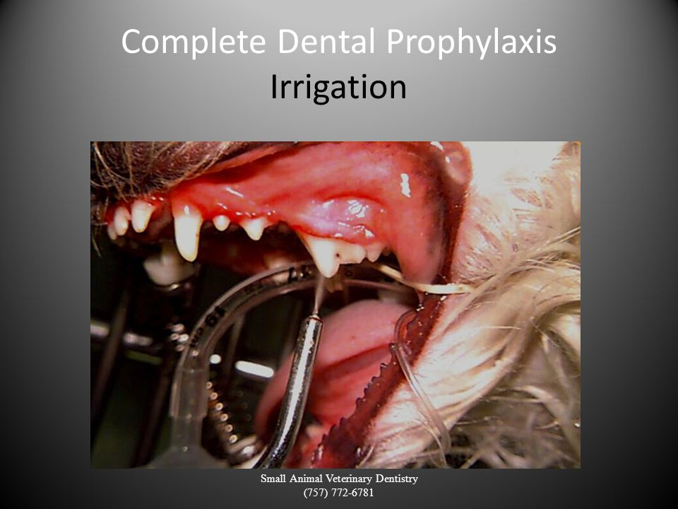 Complete Dental Prophylaxis Irrigation Small Animal Veterinary Dentistry (757) 772-6781