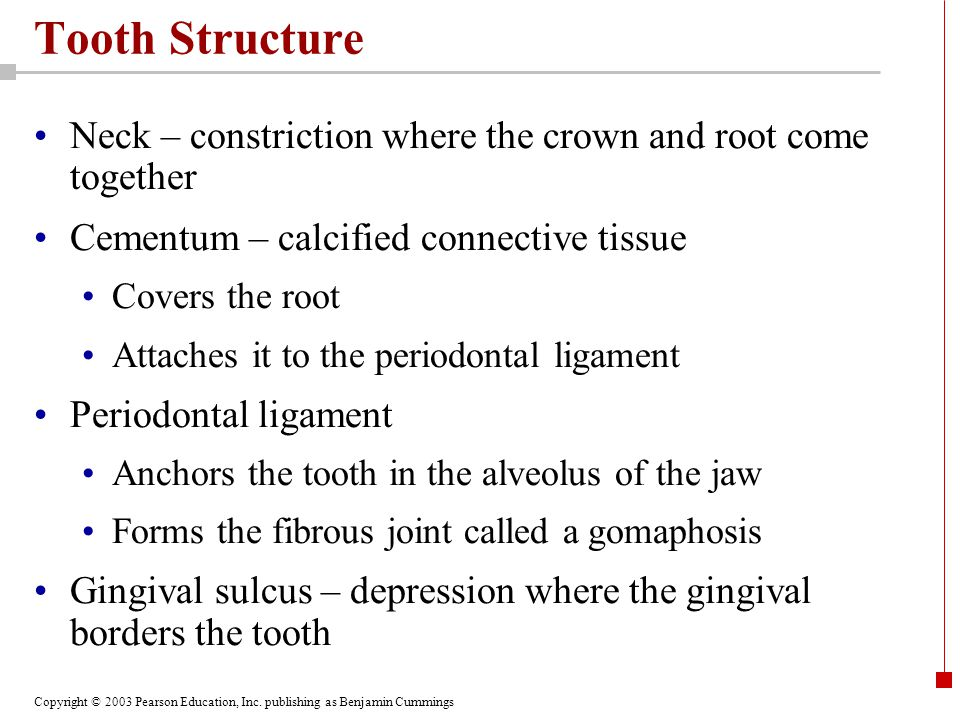 Copyright © 2003 Pearson Education, Inc. publishing as Benjamin Cummings Tooth Structure Neck – constriction where the crown and root come together Ce