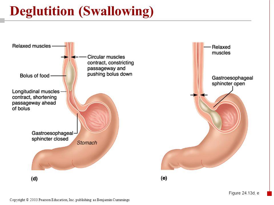 Copyright © 2003 Pearson Education, Inc. publishing as Benjamin Cummings Deglutition (Swallowing) Figure 24.13d, e
