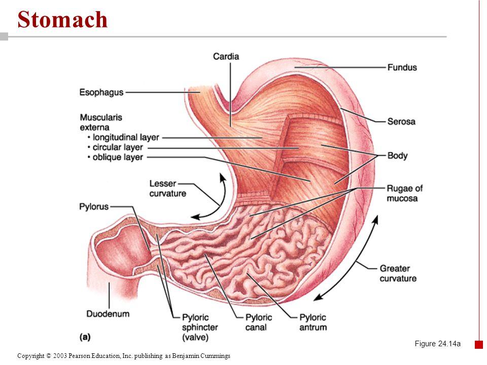 Copyright © 2003 Pearson Education, Inc. publishing as Benjamin Cummings Stomach Figure 24.14a