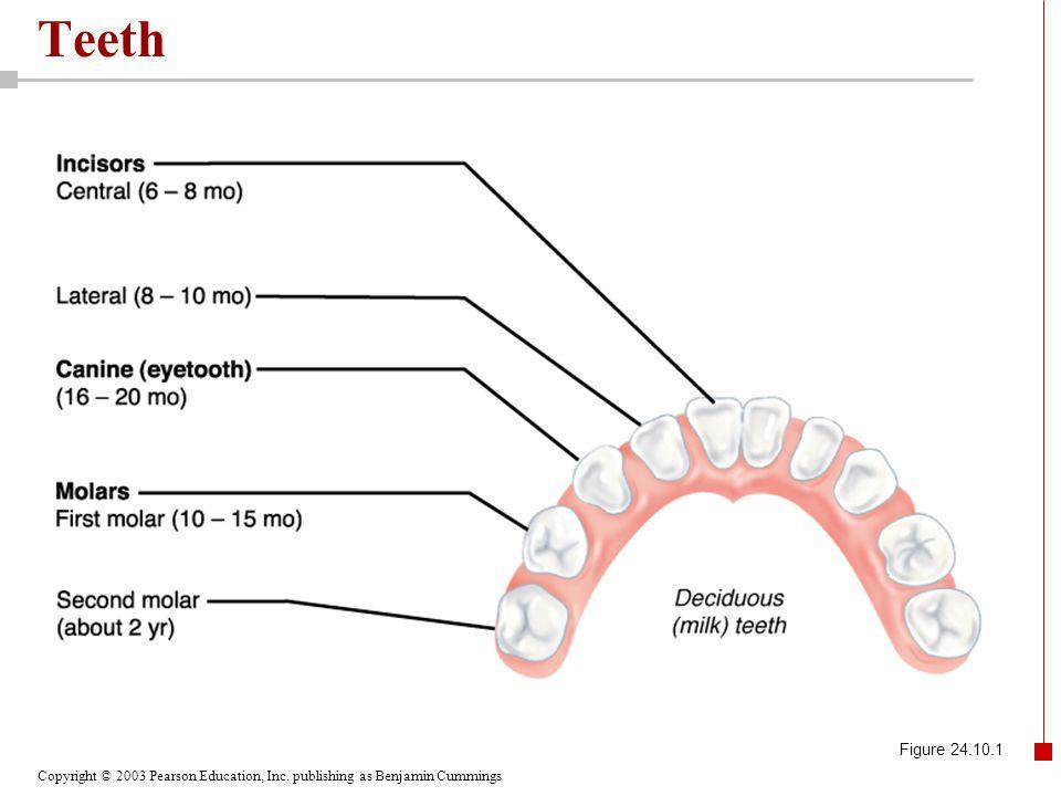 Copyright © 2003 Pearson Education, Inc. publishing as Benjamin Cummings Teeth Figure 24.10.2
