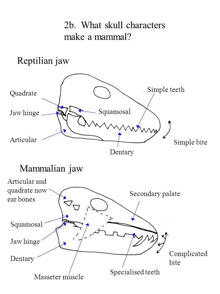 2b. What skull characters make a mammal? Reptilian jaw Mammalian jaw Quadrate Jaw hinge Articular Dentary Simple bite Simple teeth Squamosal Secondary