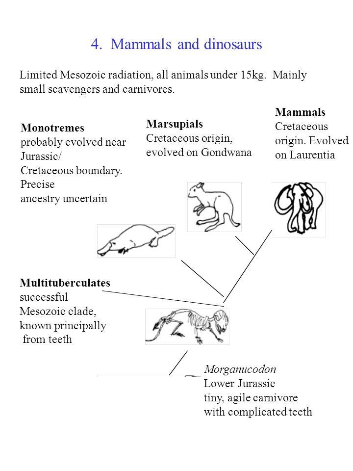 4. Mammals and dinosaurs Monotremes probably evolved near Jurassic/ Cretaceous boundary. Precise ancestry uncertain Marsupials Cretaceous origin, evol