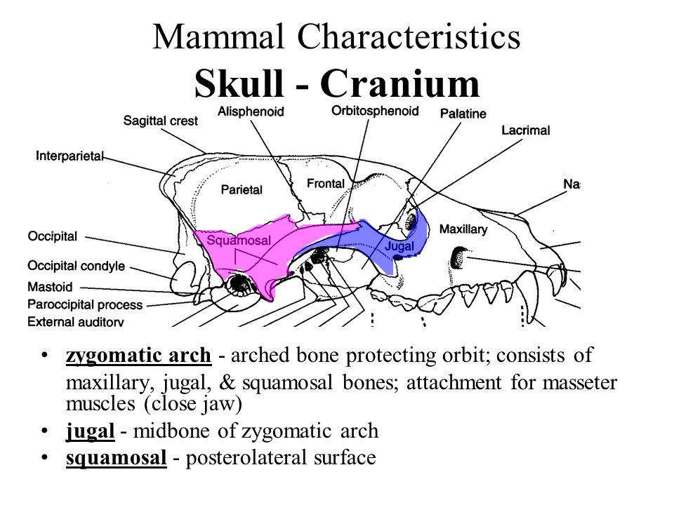 Mammal Characteristics Skull - Cranium zygomatic arch - arched bone protecting orbit; consists of maxillary, jugal, & squamosal bones; attachment for