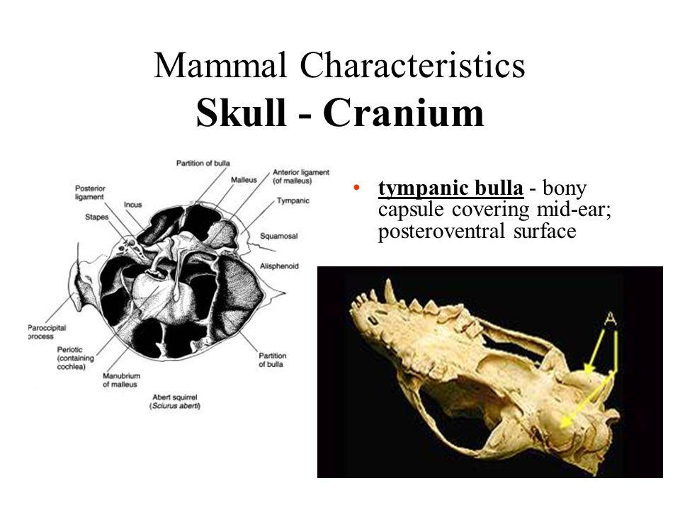 Mammal Characteristics Skull - Cranium tympanic bulla - bony capsule covering mid-ear; posteroventral surface