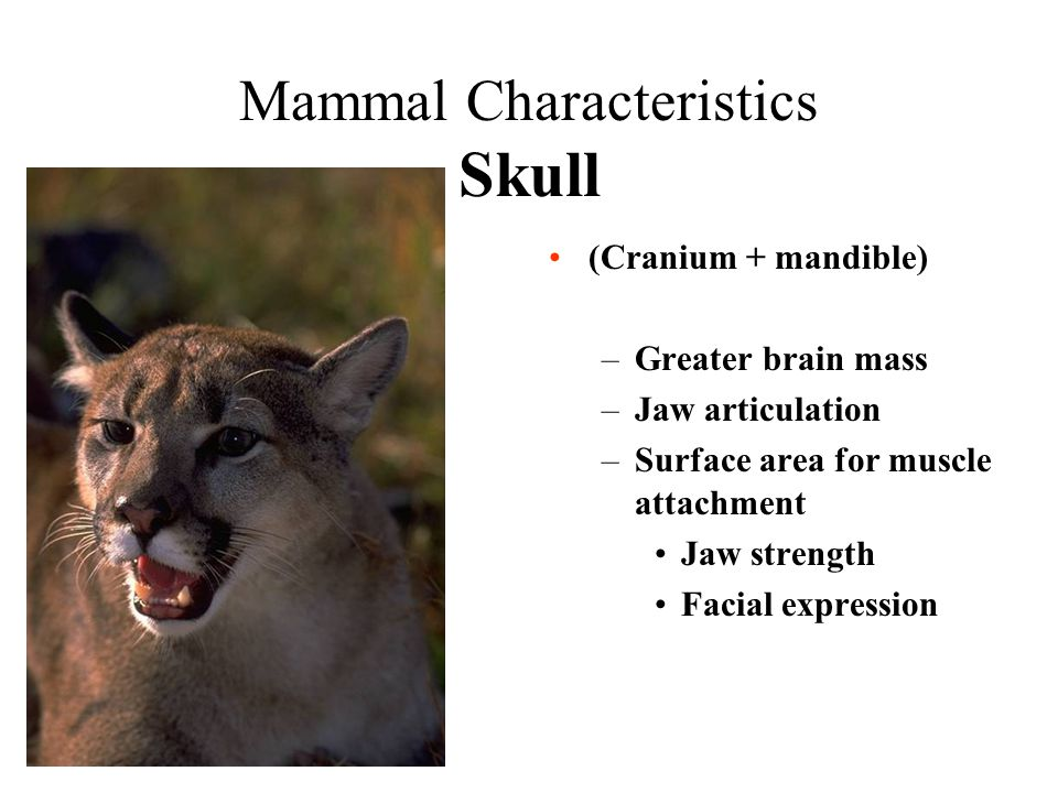 Mammal Characteristics Skull (Cranium + mandible) –Greater brain mass –Jaw articulation –Surface area for muscle attachment Jaw strength Facial expres