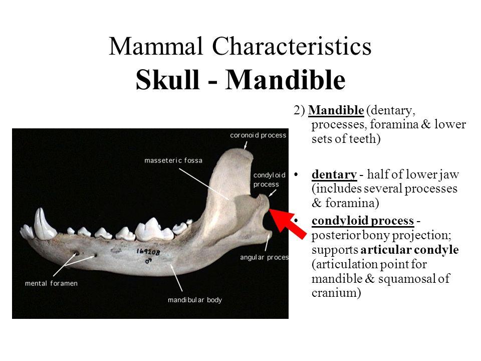 Mammal Characteristics Skull - Mandible 2) Mandible (dentary, processes, foramina & lower sets of teeth) dentary - half of lower jaw (includes several