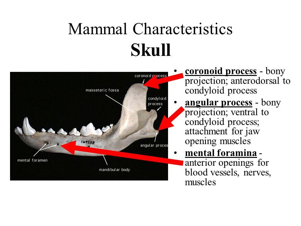 Mammal Characteristics Skull coronoid process - bony projection; anterodorsal to condyloid process angular process - bony projection; ventral to condy