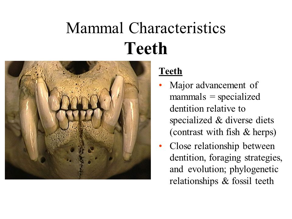 Mammal Characteristics Teeth Teeth Major advancement of mammals = specialized dentition relative to specialized & diverse diets (contrast with fish &