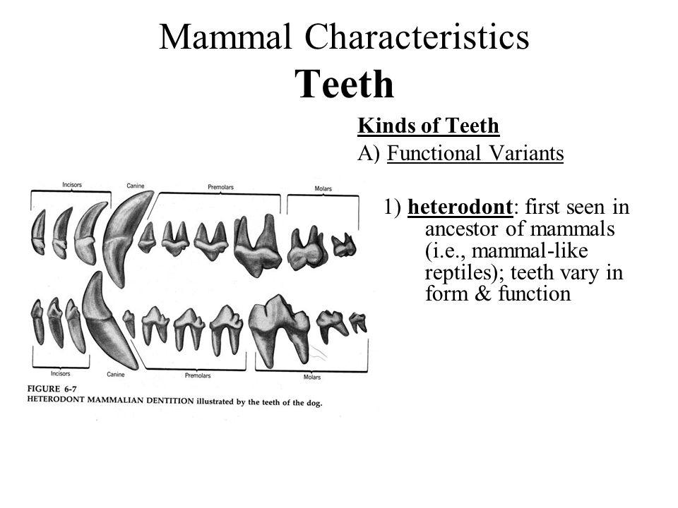 Mammal Characteristics Teeth Kinds of Teeth A) Functional Variants 1) heterodont: first seen in ancestor of mammals (i.e., mammal-like reptiles); teet
