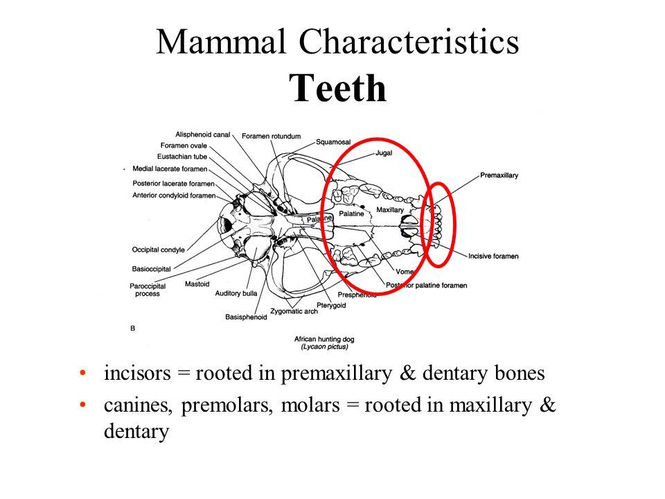 Mammal Characteristics Teeth incisors = rooted in premaxillary & dentary bones canines, premolars, molars = rooted in maxillary & dentary