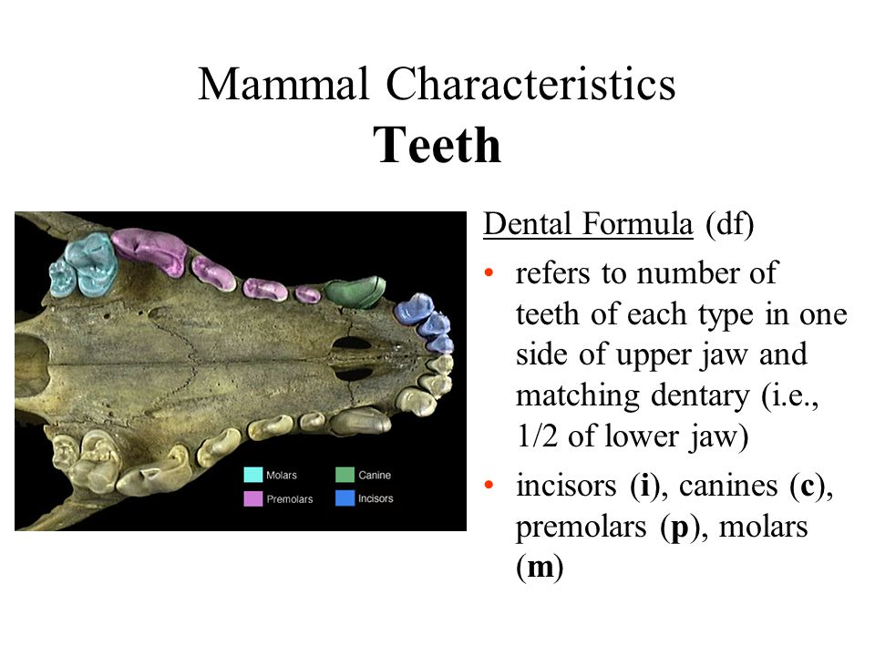 Mammal Characteristics Teeth Dental Formula (df) refers to number of teeth of each type in one side of upper jaw and matching dentary (i.e., 1/2 of lo