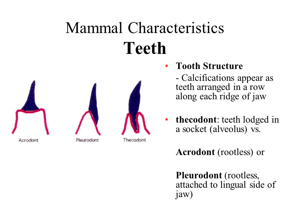 Mammal Characteristics Teeth Tooth Structure - Calcifications appear as teeth arranged in a row along each ridge of jaw thecodont: teeth lodged in a s