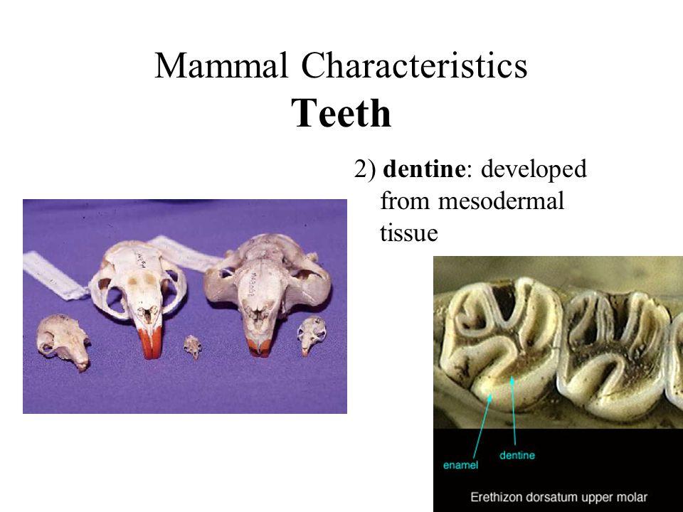 Mammal Characteristics Teeth 2) dentine: developed from mesodermal tissue