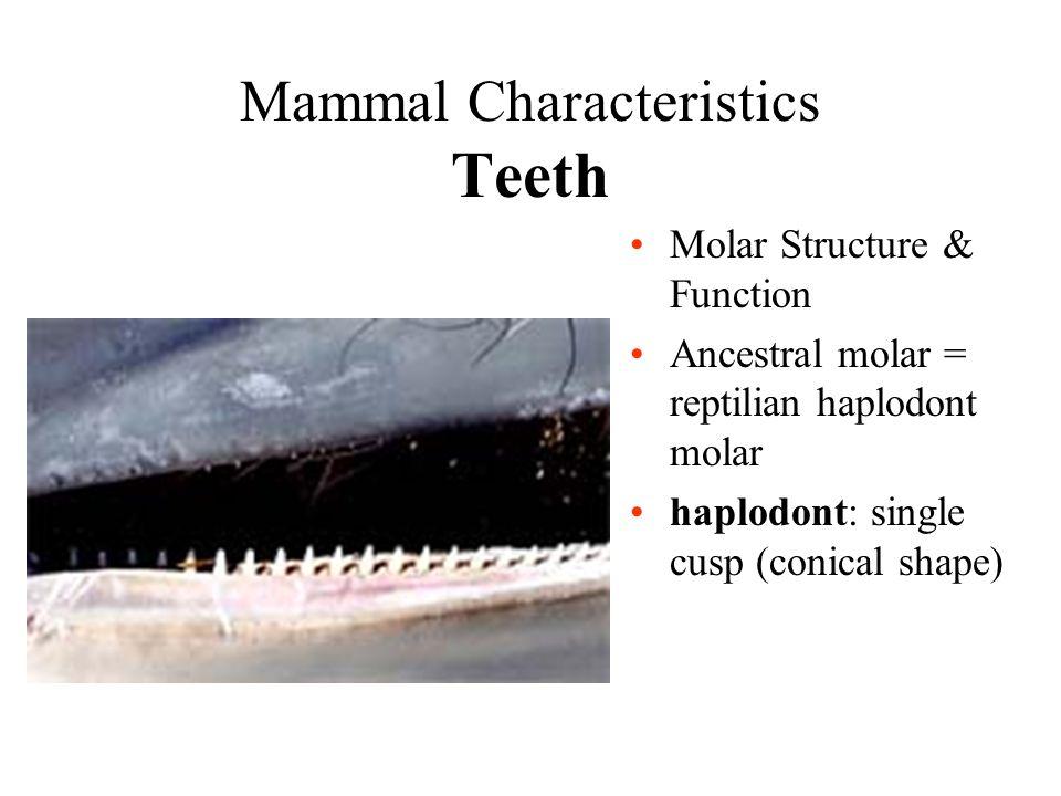 Mammal Characteristics Teeth Molar Structure & Function Ancestral molar = reptilian haplodont molar haplodont: single cusp (conical shape)