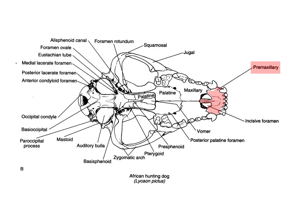 Mammal Characteristics Teeth Carnivores carnassials: main shearing teeth of terrestrial carnivores (fissipeds) - p4 / & m1 = upper 4th premolar & lower 1st molar