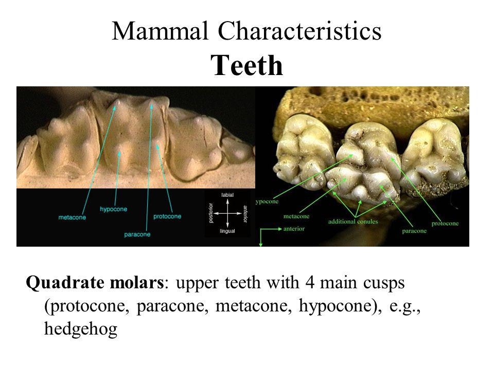 Mammal Characteristics Teeth Quadrate molars: upper teeth with 4 main cusps (protocone, paracone, metacone, hypocone), e.g., hedgehog
