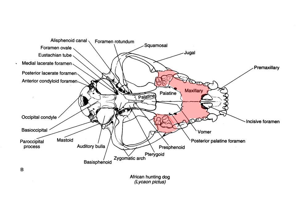 Mammal Characteristics Skull - Cranium frontal orbit - eye socket lacrimal - anterior portion of orbit; opening for lacrimal (tear) duct frontal - posterior to nasal, anterior to parietal parietal - posterior to frontal, dorsal to squamosal sagittal crest - bony ridge; dorsal surface of cranium Postorbital process
