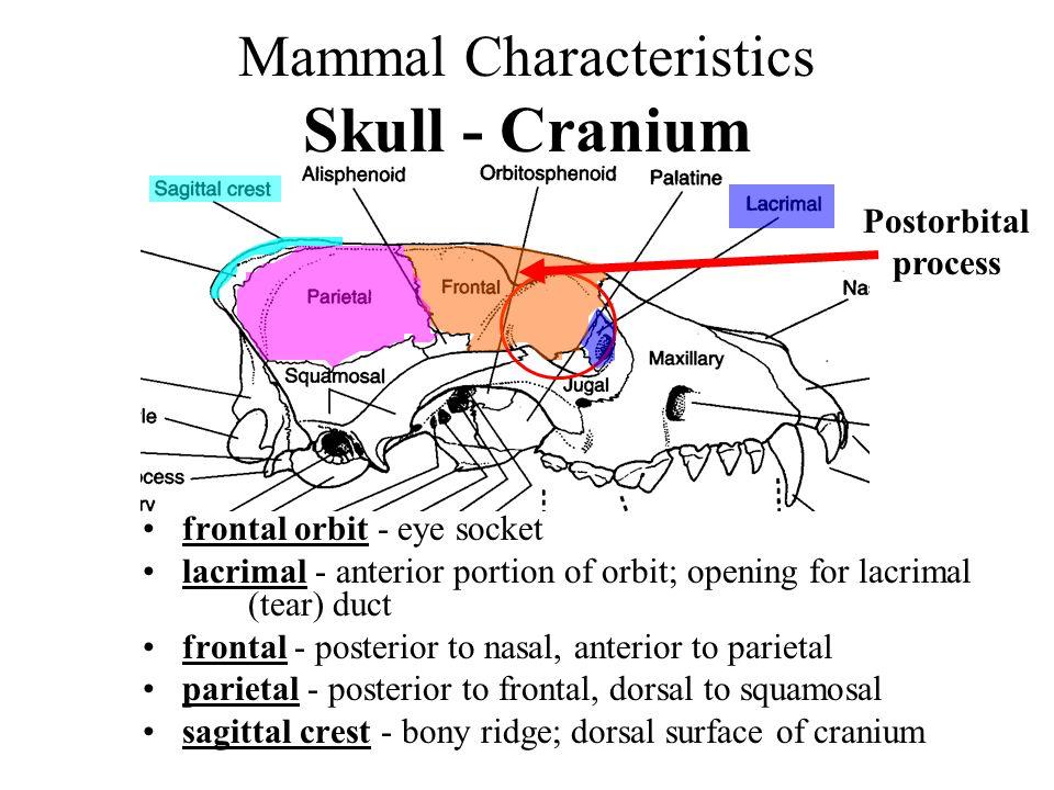 Mammal Characteristics Skull - Cranium frontal orbit - eye socket lacrimal - anterior portion of orbit; opening for lacrimal (tear) duct frontal - pos