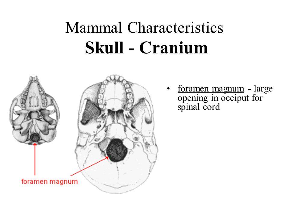 Mammal Characteristics Skull - Cranium Occiput (occipital) - posterior part of cranium; surrounds foramen magnum Occipital condyle – articulation surface, cranium to atlas lambdoidal ridge - bony ridge located where parietal & occiput meet lambdoidal ridge