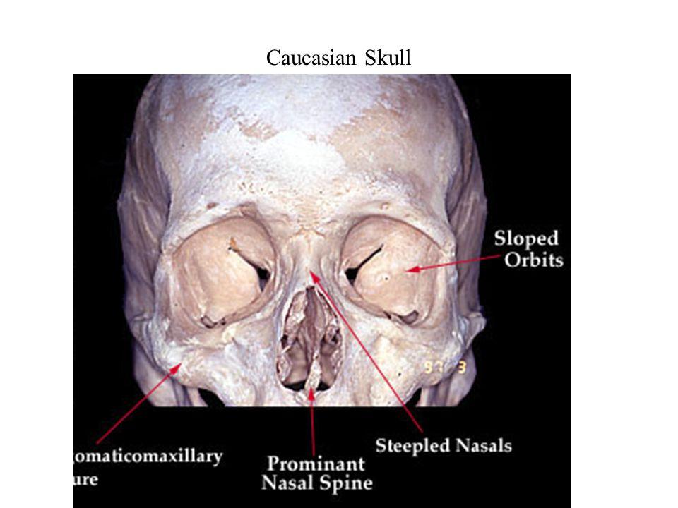Caucasian Skull