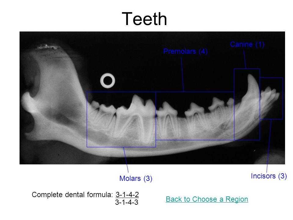 Teeth Complete dental formula: 3-1-4-2 3-1-4-3 Incisors (3) Canine (1) Premolars (4) Molars (3) Back to Choose a Region