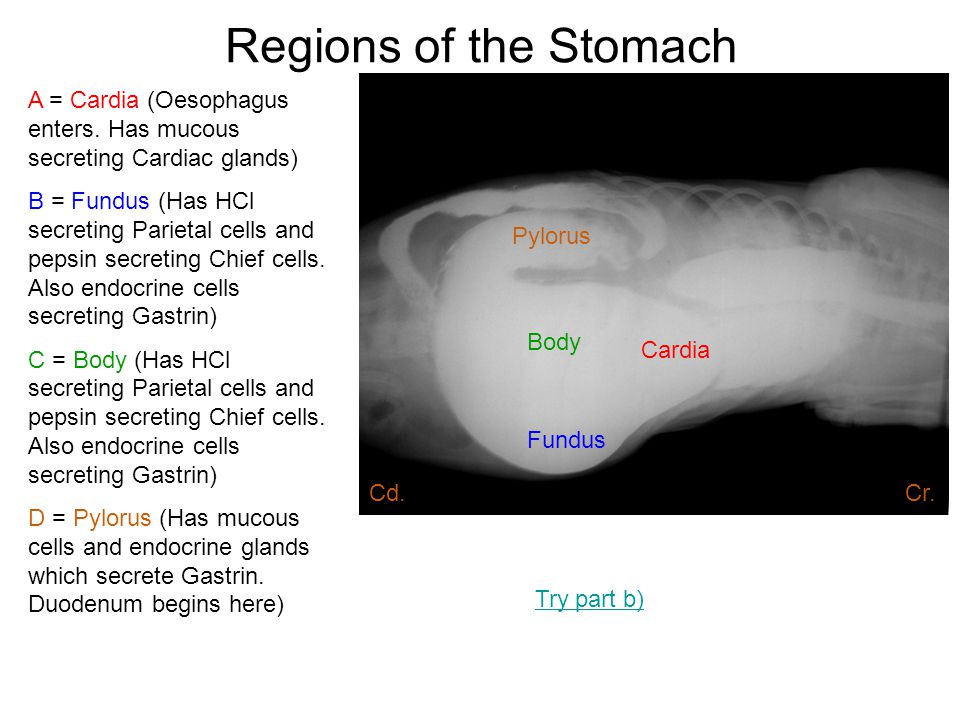 Regions of the Stomach Cardia Fundus Body Pylorus A = Cardia (Oesophagus enters. Has mucous secreting Cardiac glands) B = Fundus (Has HCl secreting Pa