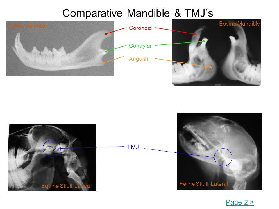 Comparative Mandible & TMJs Page 2 > Coronoid Condylar Angular Feline Mandible Bovine Mandible TMJ Equine Skull, Lateral Feline Skull, Lateral