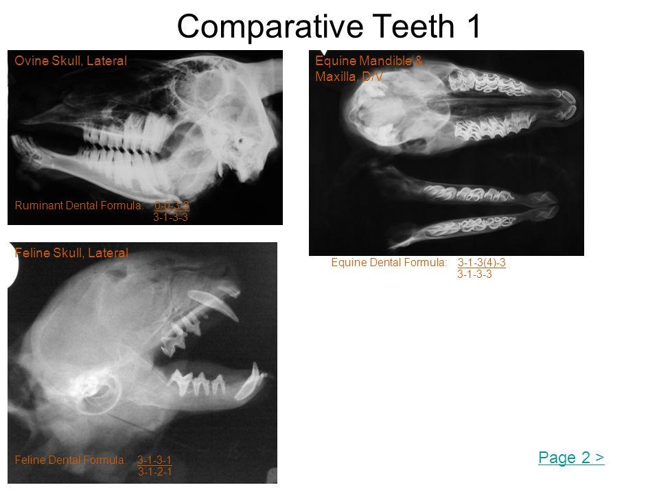 Comparative Teeth 1 Ovine Skull, Lateral Ruminant Dental Formula: 0-0-3-3 3-1-3-3 Equine Dental Formula: 3-1-3(4)-3 3-1-3-3 Equine Mandible & Maxilla, D/V Feline Skull, Lateral Feline Dental Formula: 3-1-3-1 3-1-2-1 Page 2 >