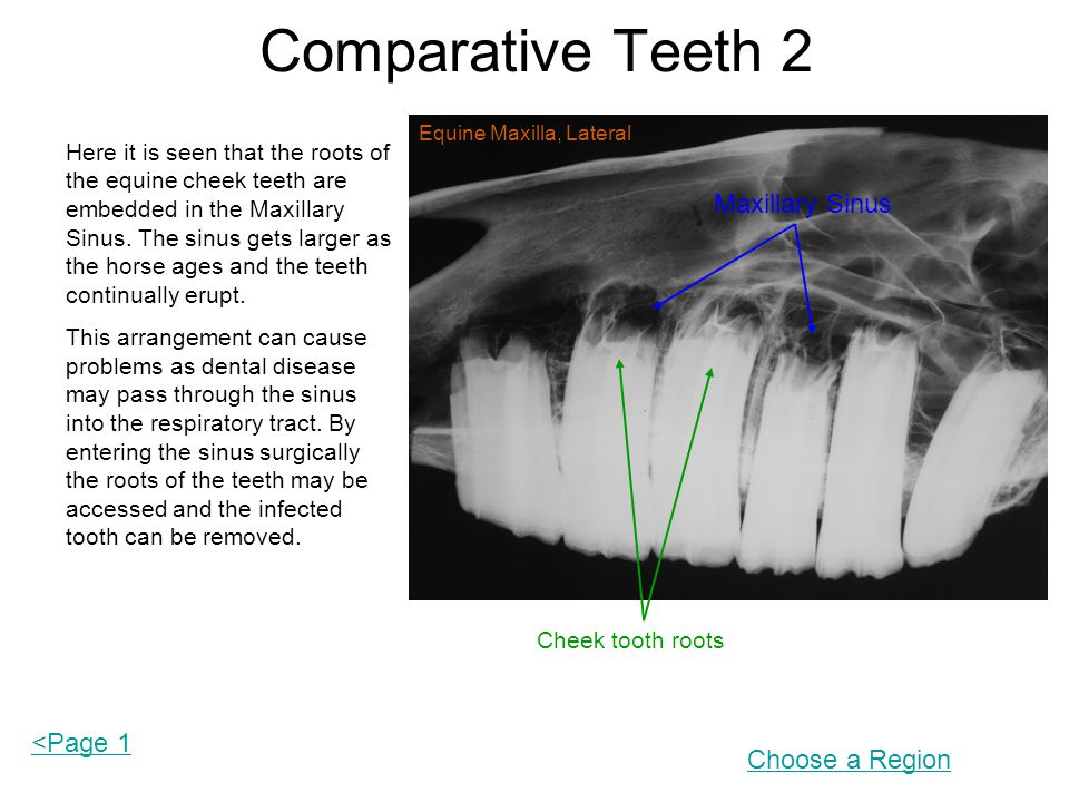 Comparative Teeth 2 Here it is seen that the roots of the equine cheek teeth are embedded in the Maxillary Sinus.