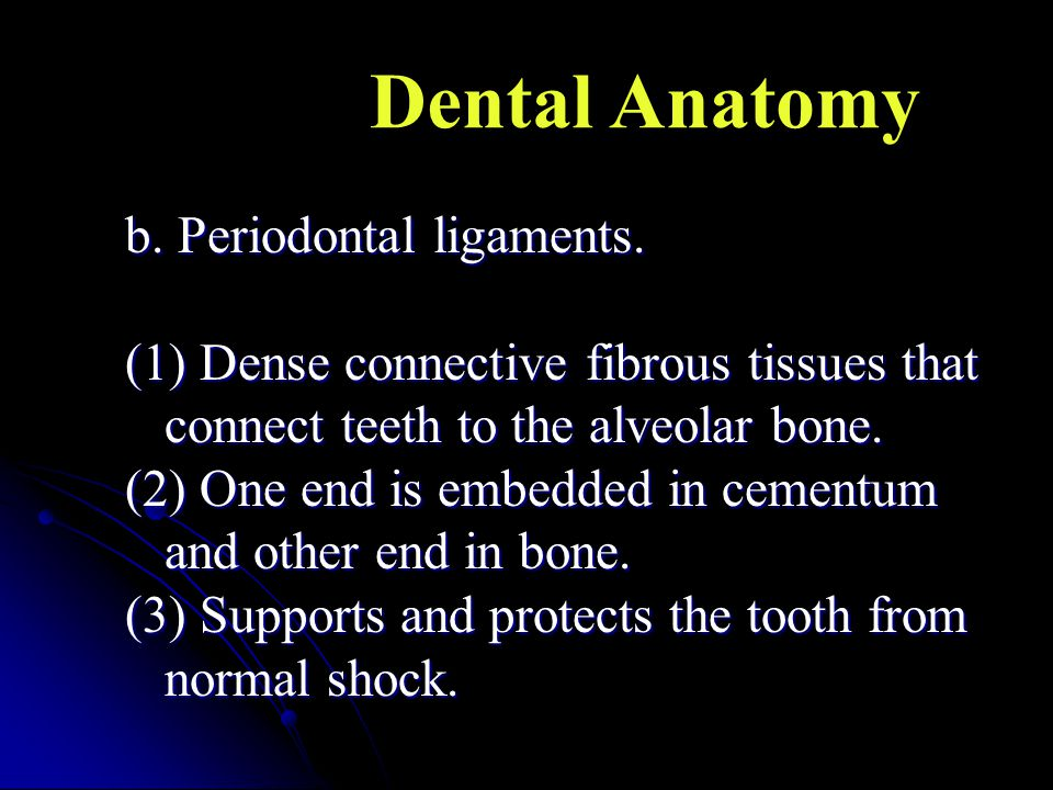 b. Periodontal ligaments. (1) Dense connective fibrous tissues that connect teeth to the alveolar bone. (2) One end is embedded in cementum and other