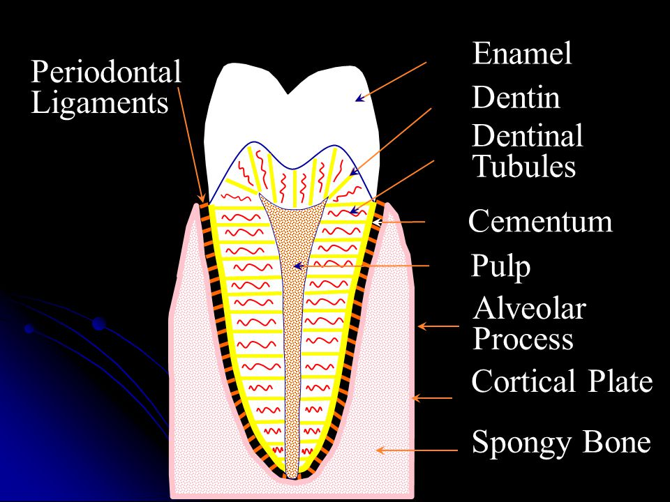 Dentin Enamel Dentinal Tubules Cementum Pulp Alveolar Process Cortical Plate Spongy Bone Periodontal Ligaments