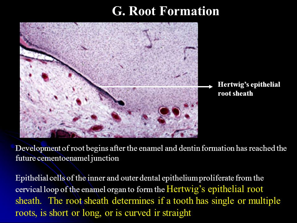 G. Root Formation Development of root begins after the enamel and dentin formation has reached the future cementoenamel junction Epithelial cells of t