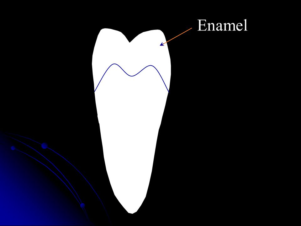 b.Dentin (1) Makes up bulk of tooth.(2)Covered by enamel on crown and cementum on the root.