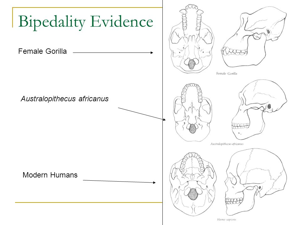 Bipedality Evidence Female Gorilla Australopithecus africanus Modern Humans