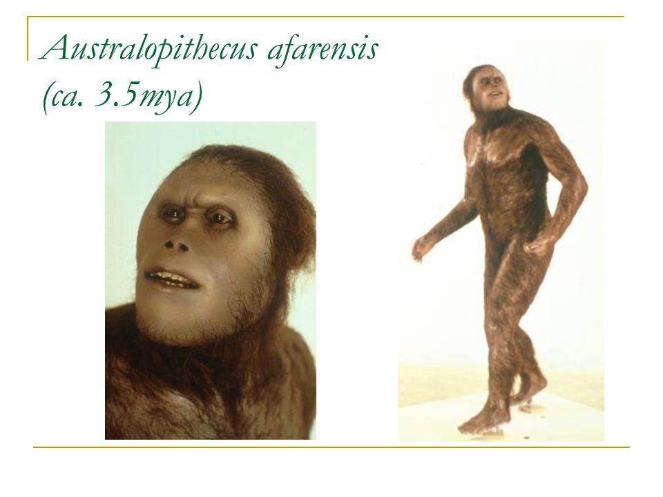 Australopithecus afarensis (ca. 3.5mya)